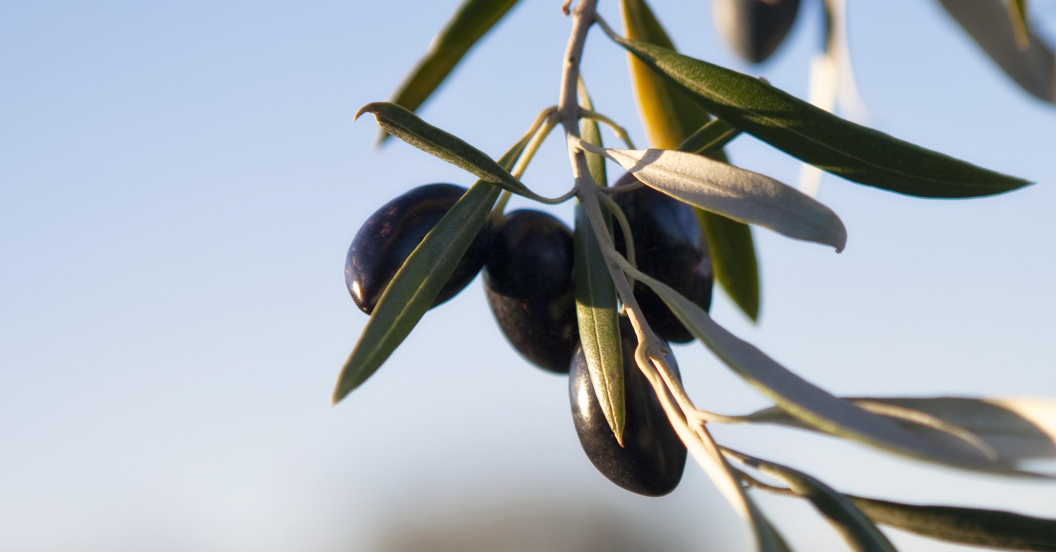 橄欖油是怎樣煉成的?